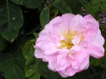 Damascene rose